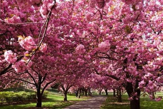 alberi-di-ciliegio_NG2